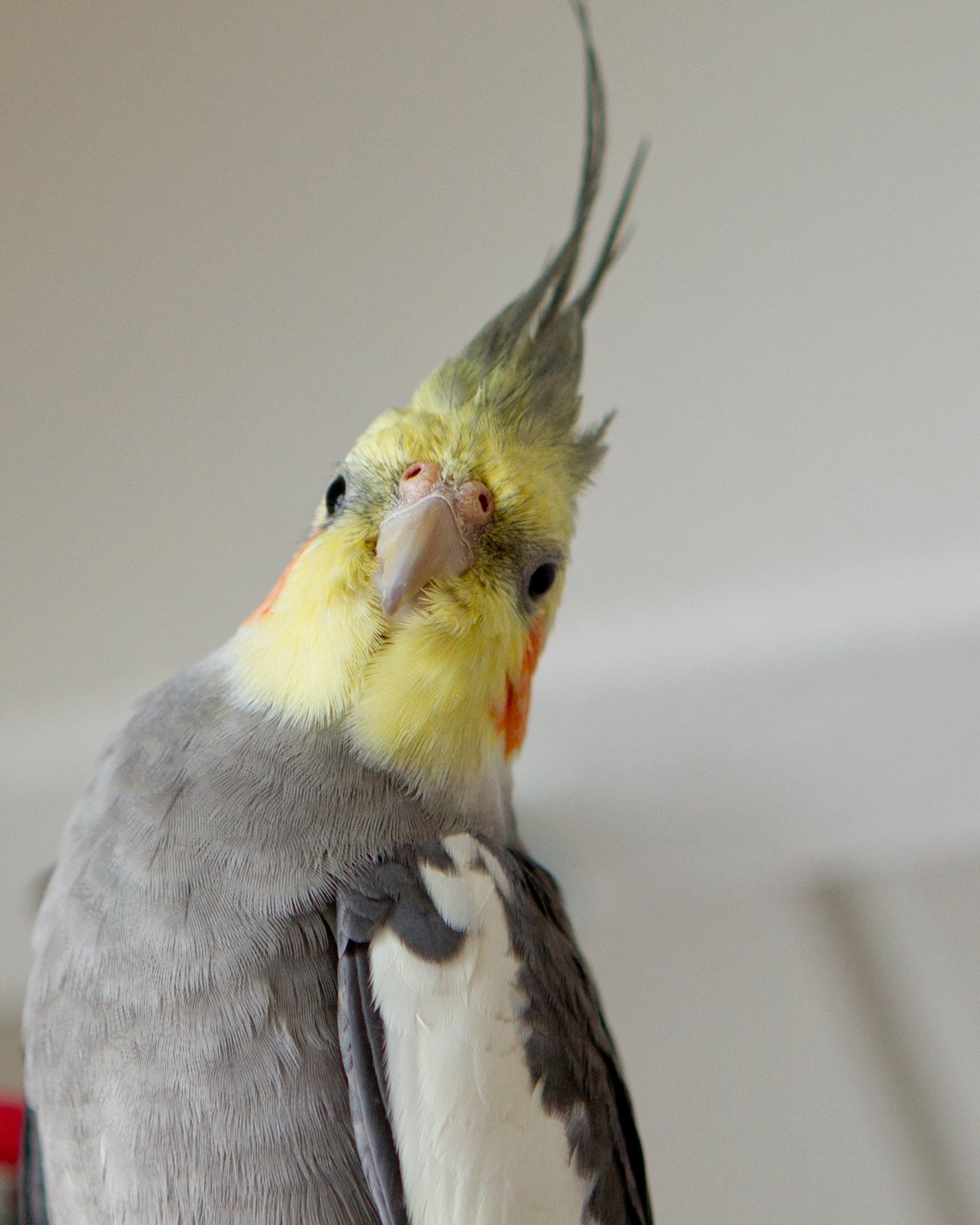 Phil the cockatiel, recovered through Pet FBI