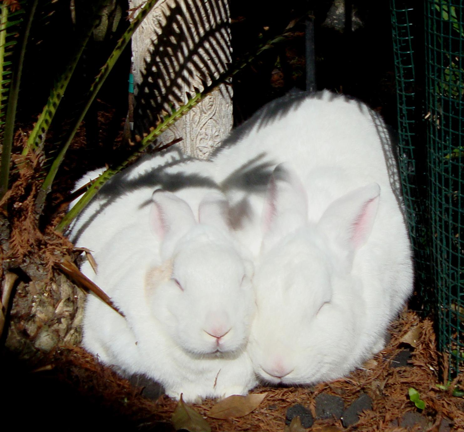 white rabbits